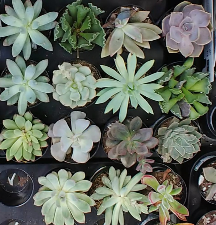 Healthy succulent plants
