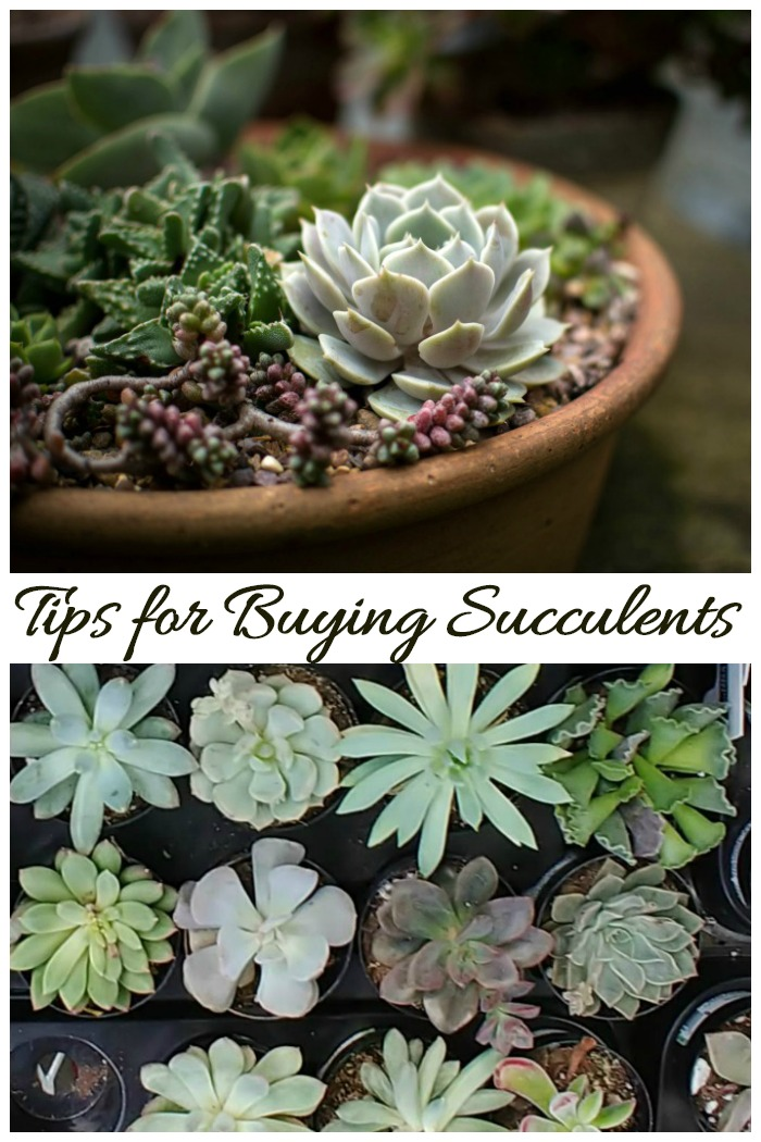 These tips for buying succulents will make sure that your shopping trip is a success.
