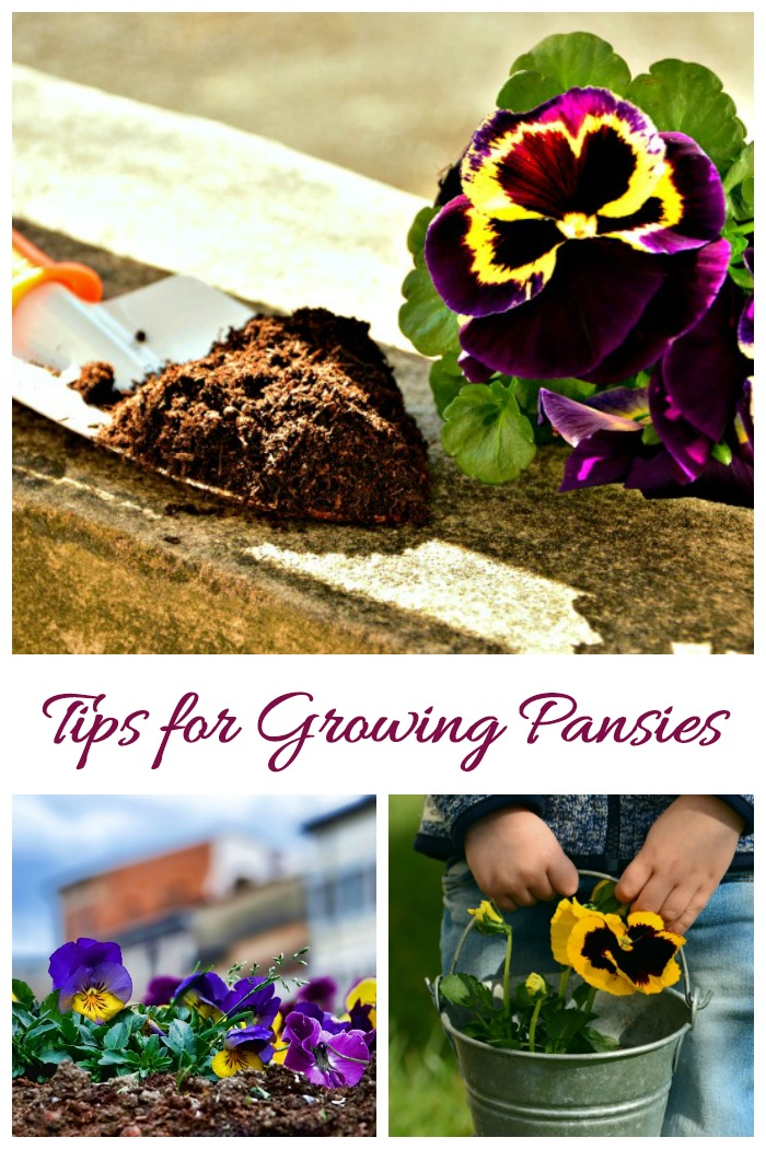 Tips for growing pansies