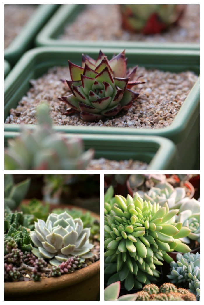 Buying succulents is easy if you fallow just a few simple tips.