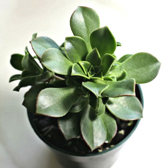 Aeonium Haworthii 'Kiwi Verde'