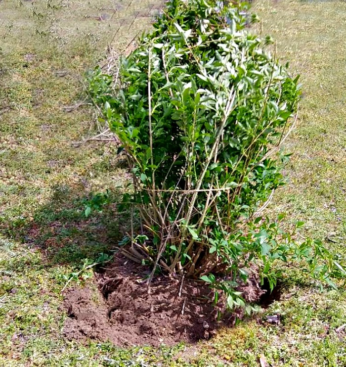 Transplanting forsythia in a new hold