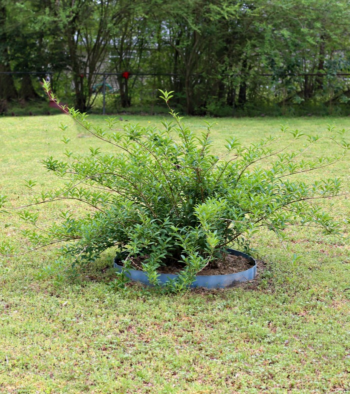 Transplanted Forsythia bush