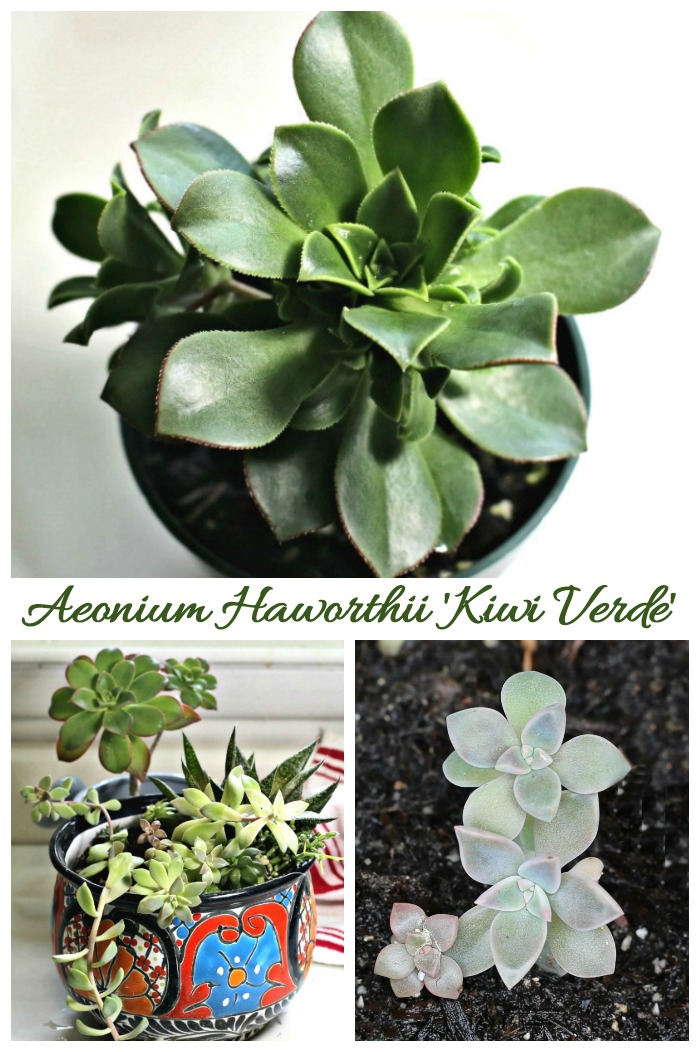 Tips for growing Kiwi Verde, an aeonium haworthii variety.