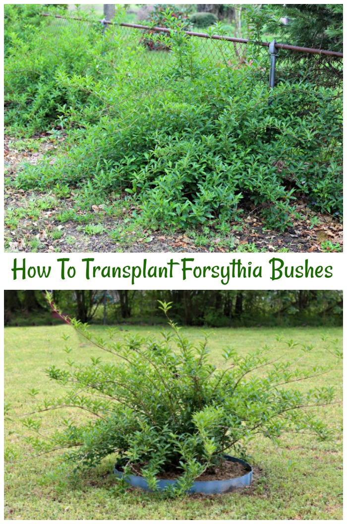 Tips for transplanting forsythia that have outgrown their original spot. You don't need a back hoe!