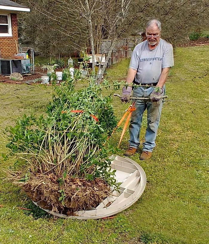 Moving the forsythia bush