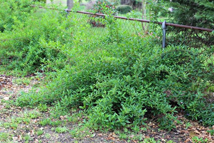 Overgrown forsythia shrubs