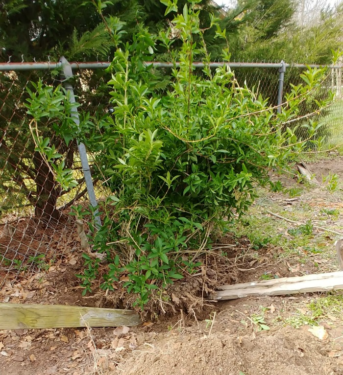 levering the root ball when transplanting forsythia