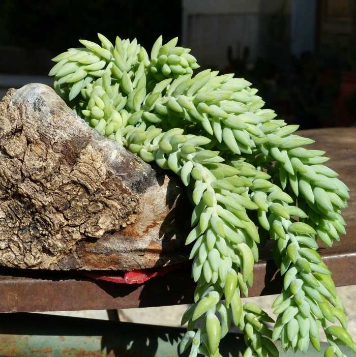 Donkey's tail cactus in a driftwood planter