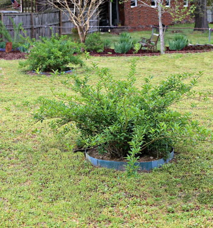 Transplanted forsythia bushes