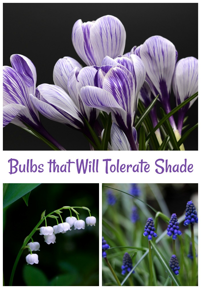 bulbs that can tolerate shade