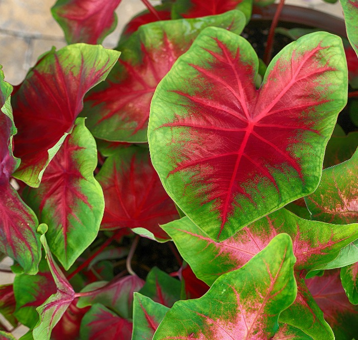 Red and green caladiums