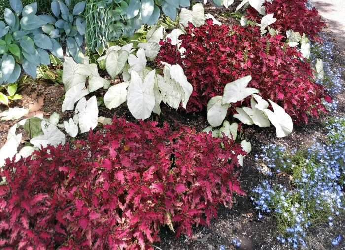 Mass planting of coleus, caladium and hostas