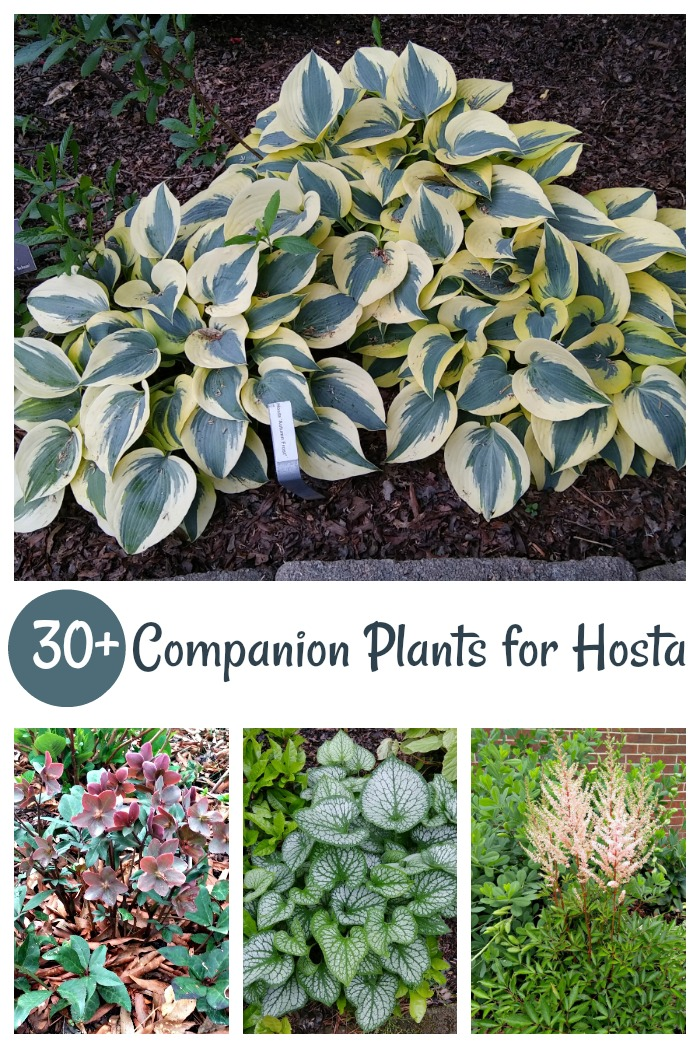 Companion Plants for Hosta