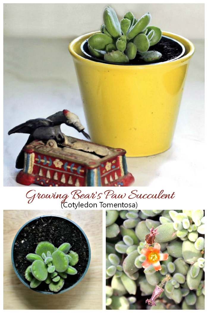 Bear's Paw Succulent is a drought smart tender succulent. Click through for care tips.