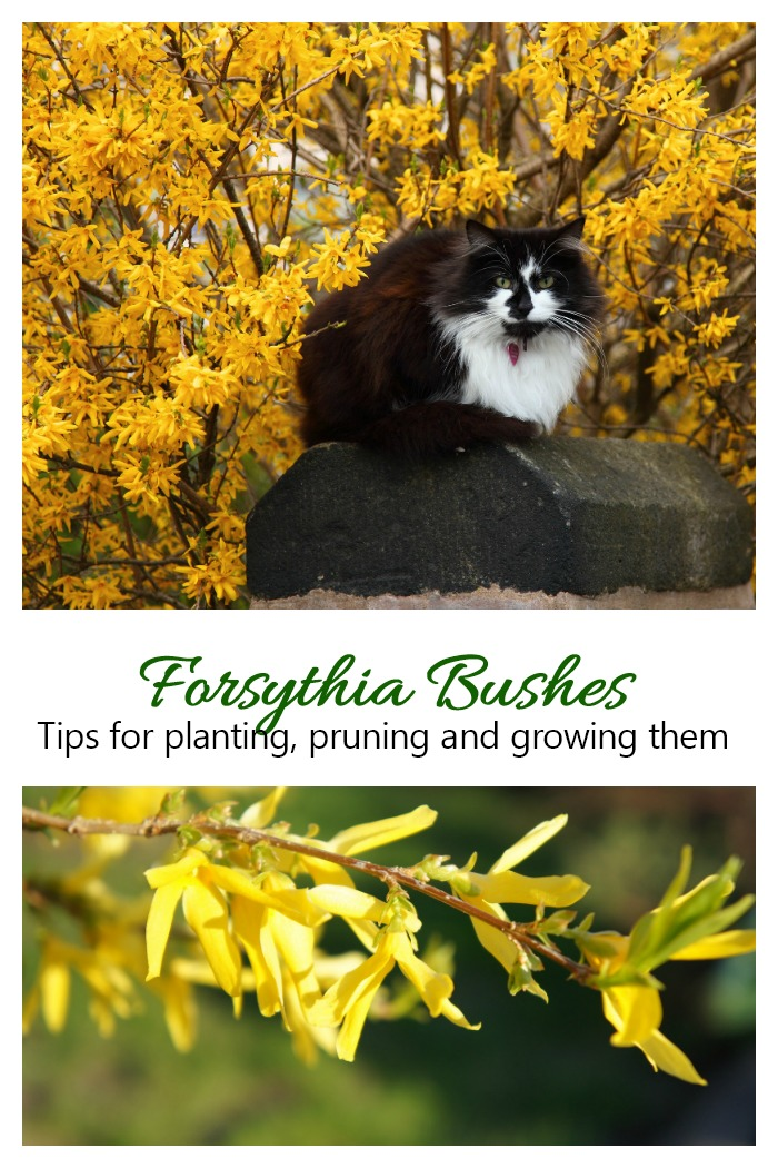 Forsythia Shrubs are one of the first harbingers of spring. Click through for a growing guide to this perennial.
