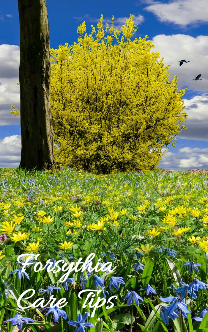 Forsythia is a hardy and tough shrub with cherry yellow flowers. Click through for the care guide.