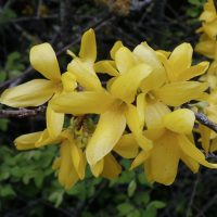 Forsythia growing guide