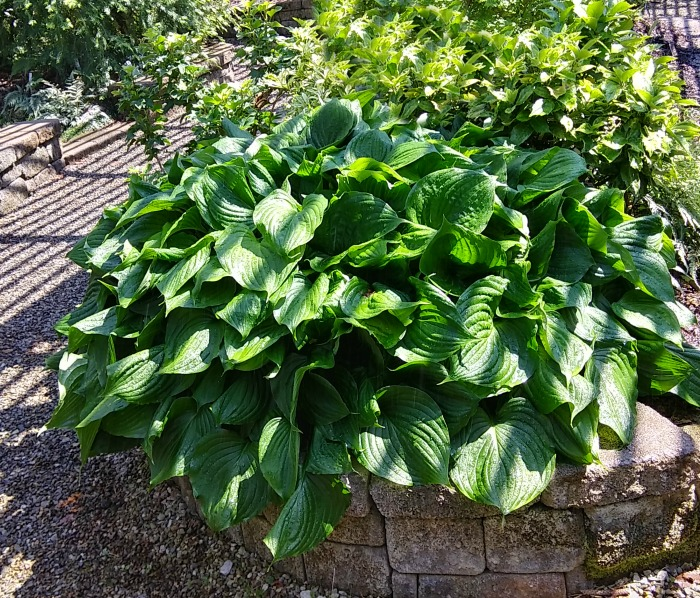 Grow hostas for impressive foliage