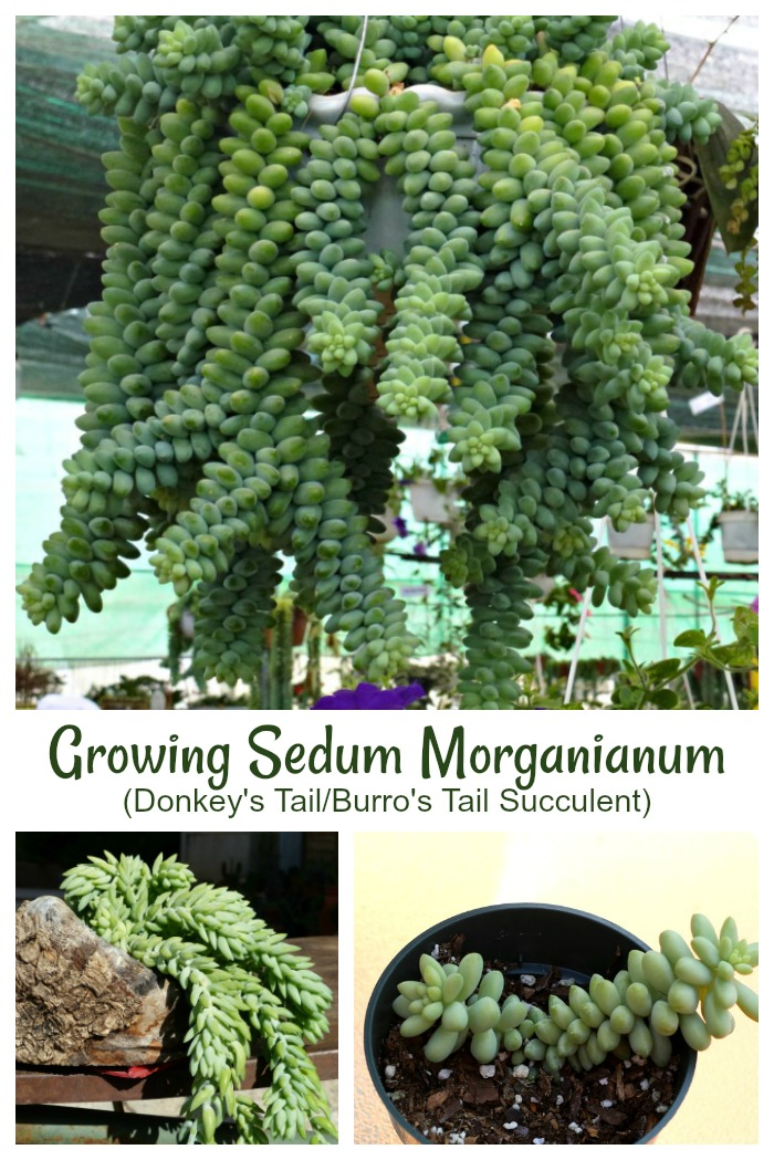 Sedum Morganianum is also known as burros tail or donkeys tail. Click through for growing tips for this trailing succulent plant
