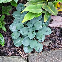Dwarf Hosta cat and mouse in a garden bed