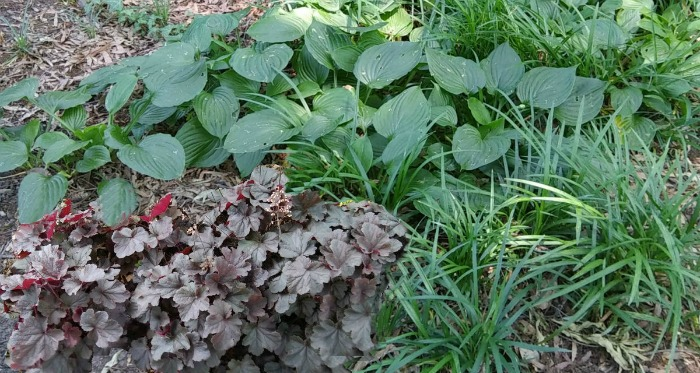 Hosta Companion Plants Growing Hostas With Shade Loving Plants
