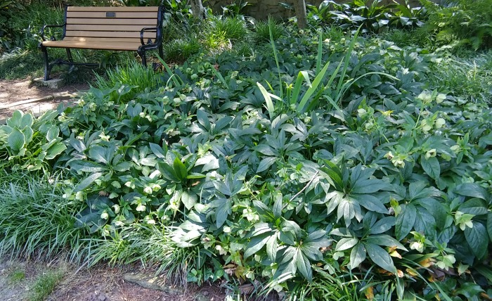 hellebores and liriope - great hosta companion plants