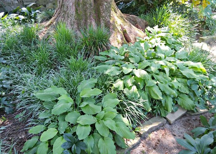 Hostas in a shade garden