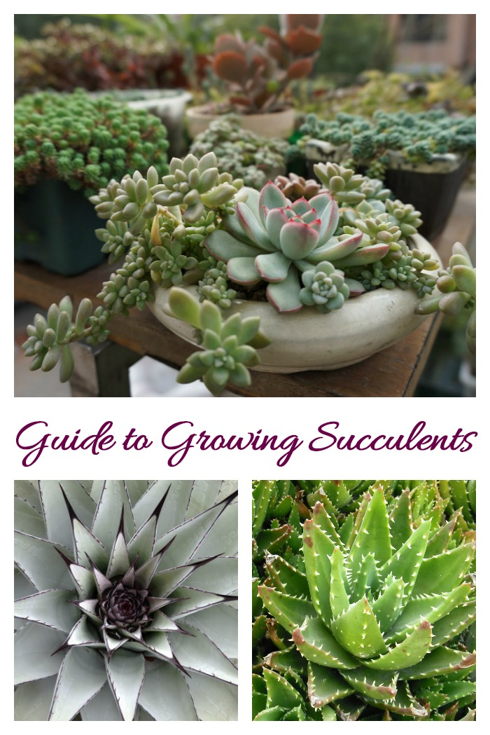 Guide for growing succulents. Click through to find out how to care for succulents.