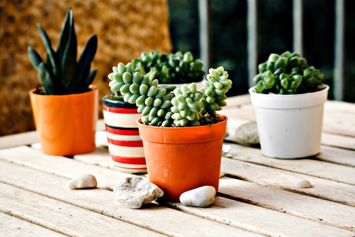 Most succulents can be grown indoors, but a few varieties don't mind lower light conditions.