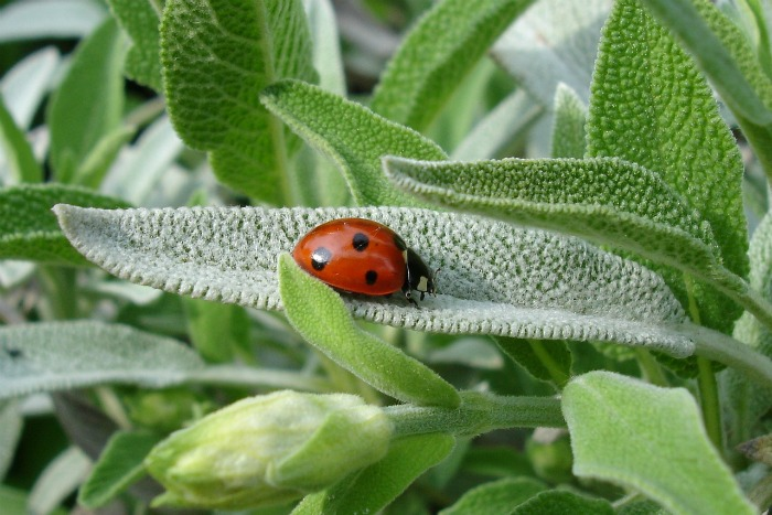 lady bug on a sage leaf