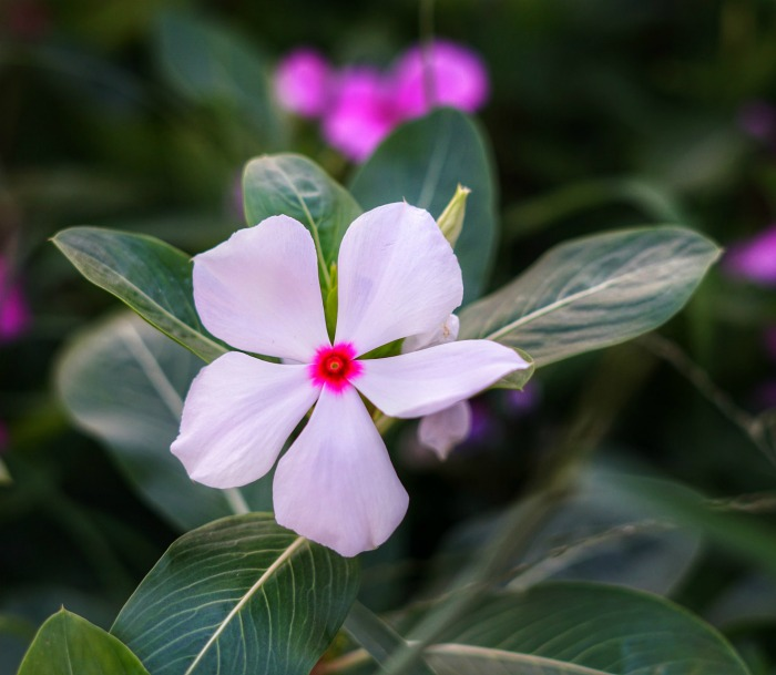 Periwinkle with white and pink flowers