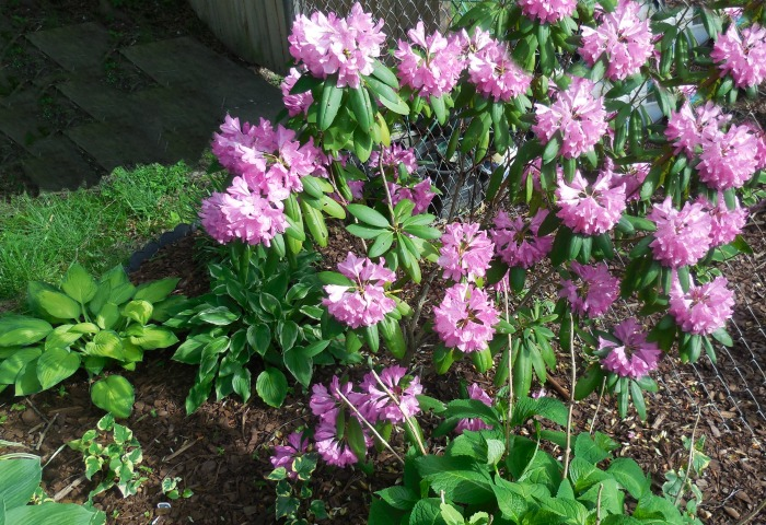 Rhododendron bush in a shade garden