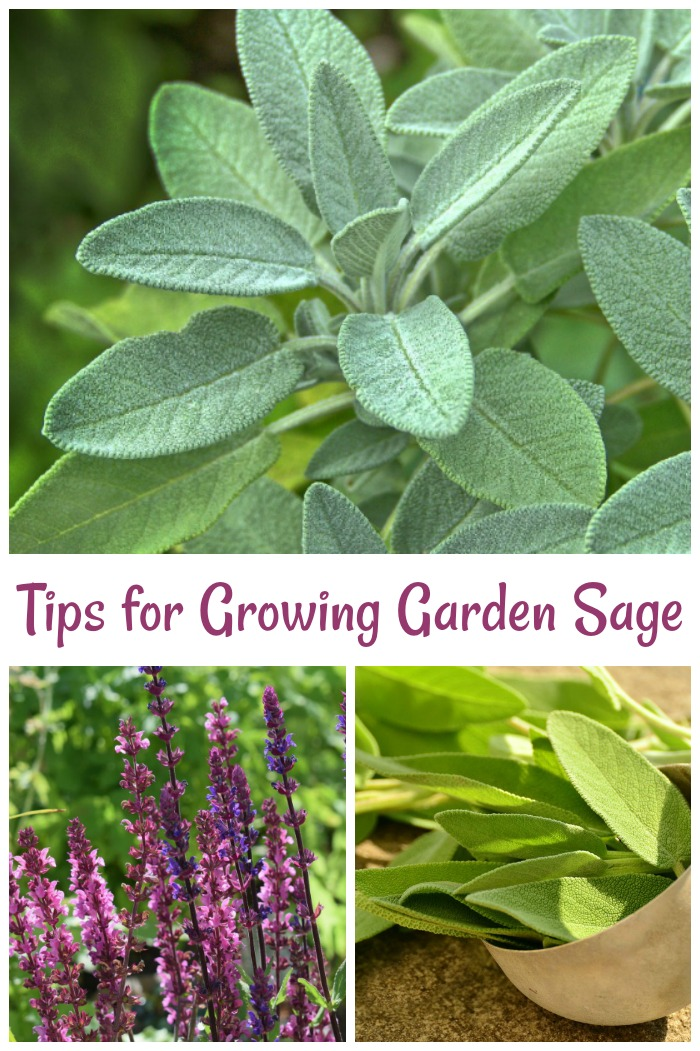 Sage Care Tips - Find out how to grow, use and harvest garden sage.