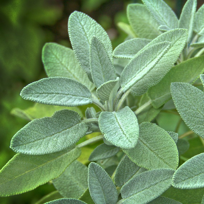Sage Plant Care - Tips for Growing Garden Sage