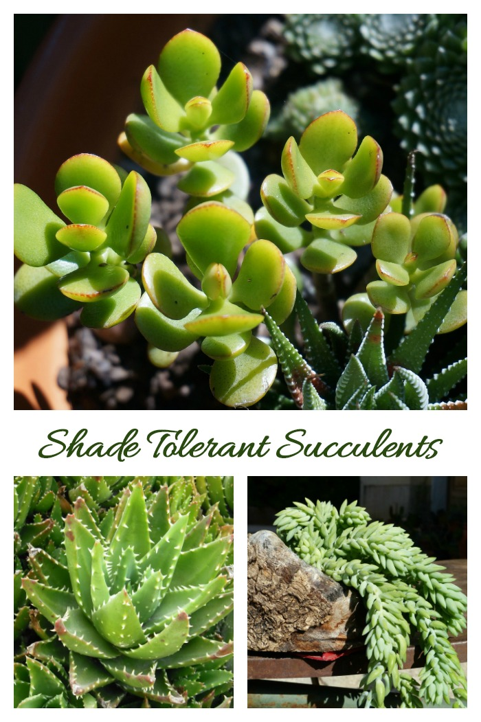 There are a few Shade Tolerant Succulents, although most do like some sun