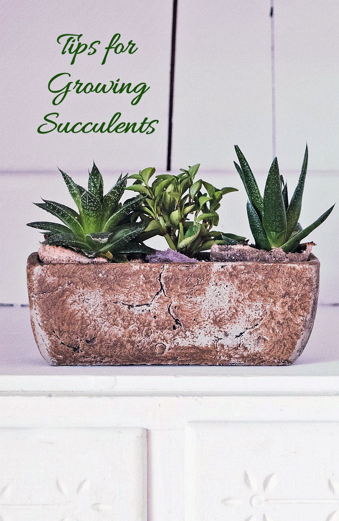 These tips for growing succulents will give you lots of information to get the most out of your succulent plants