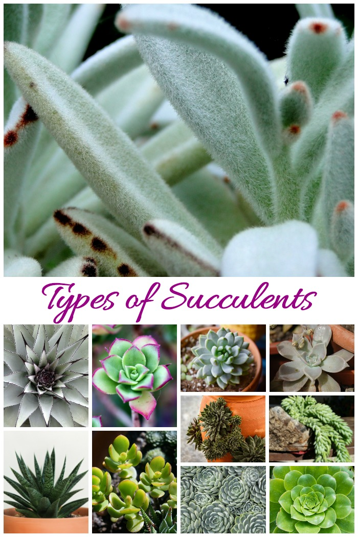 there are many Types of succulent plants and identifying them can be difficult since they look similar