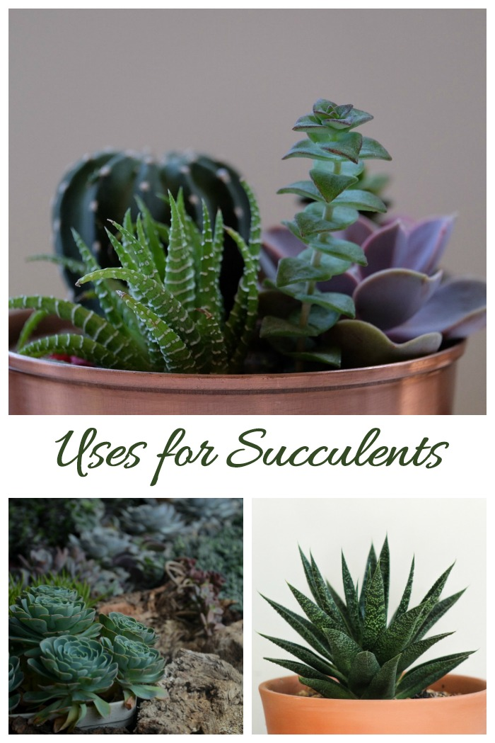 Whether you plant succulents alone, in dish gardens or in rock gardens, these drought smart plants are a delight in the garden and home.