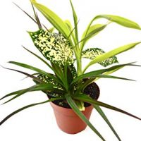 "Dracaena 'Combo' - Live House Plant - FREE Care Guide - 4"" Pot - HARD TO KILL"