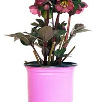 Pink Ribbon Plants - Helleborus 'Penny's Pink' (Lenten Rose) Perennial, pink flowers, 8`` - Size Container