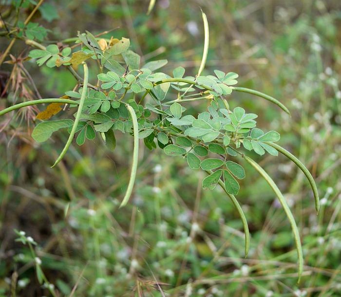 Senna Obtusifolia