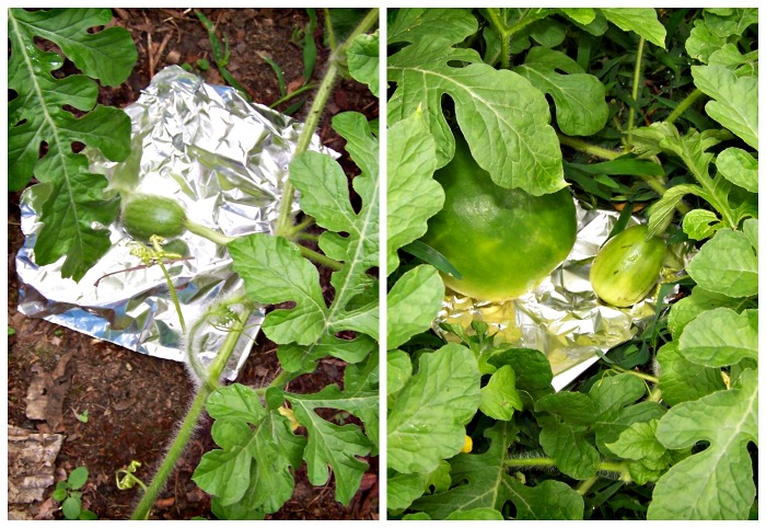 Aluminum foil under watermelons in a collage.