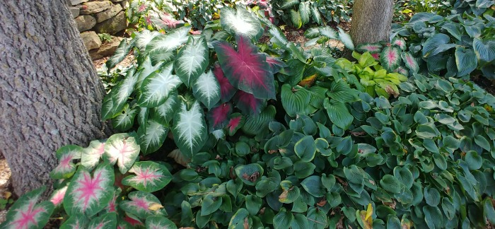 caladiums and hostas in Springfield Botanical Gardens.