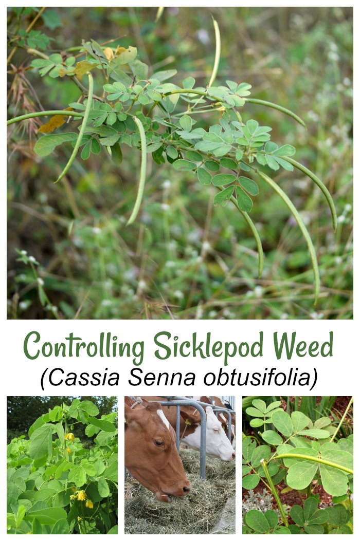 Controlling Sicklepod Weed - How to Get Rid of Cassia Senna Obtusifolia