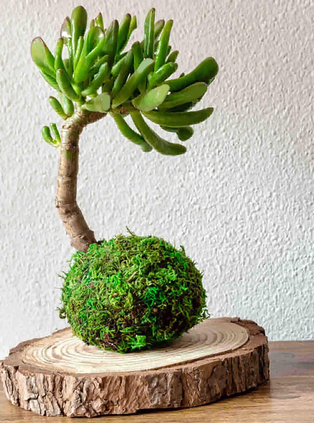 Crassula ovata hobbit formed into a bonsai tree on a wooden log cut.