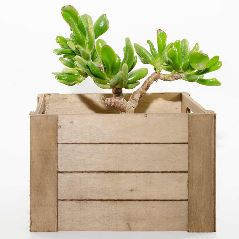 Wooden box planter with crassula ovata hobbit plant.