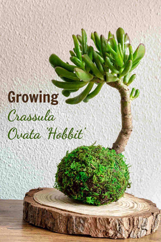 Bonsai crassula plant with text reading Growing crassula ovata hobbit.