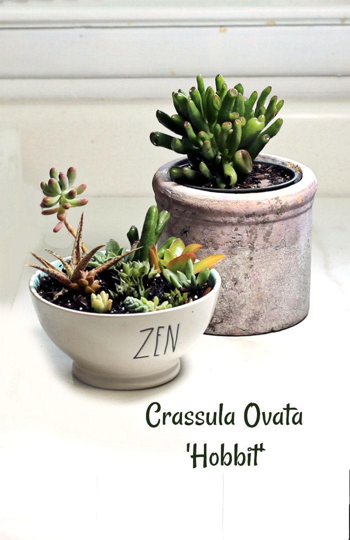 Crassula ovata 'hobbit'in a pot near a dish garden with the same plant
