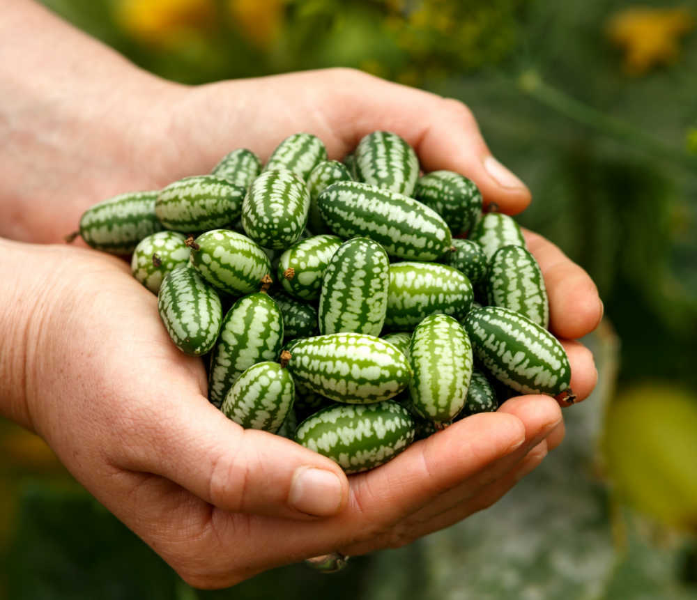 Hands holding cucamelons.